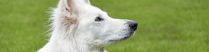 Photo portrait chien berger blanc suisse